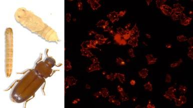 Beetle, Immunity & Hemocytes